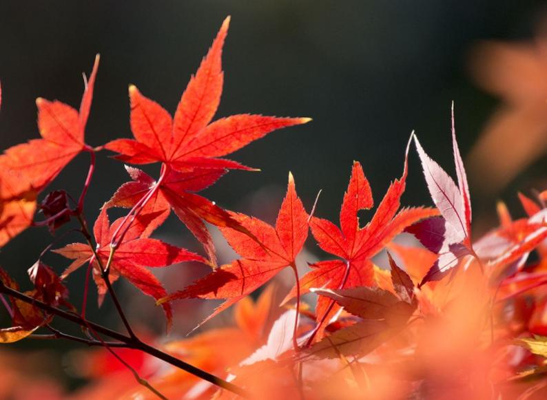 枫叶红火了红叶游 全国赏红景点推荐