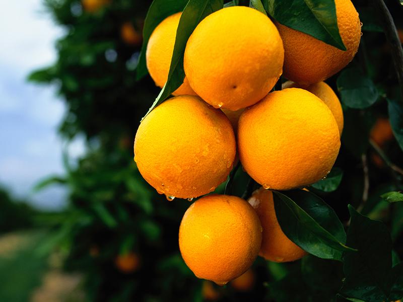 埃及尼罗河橙