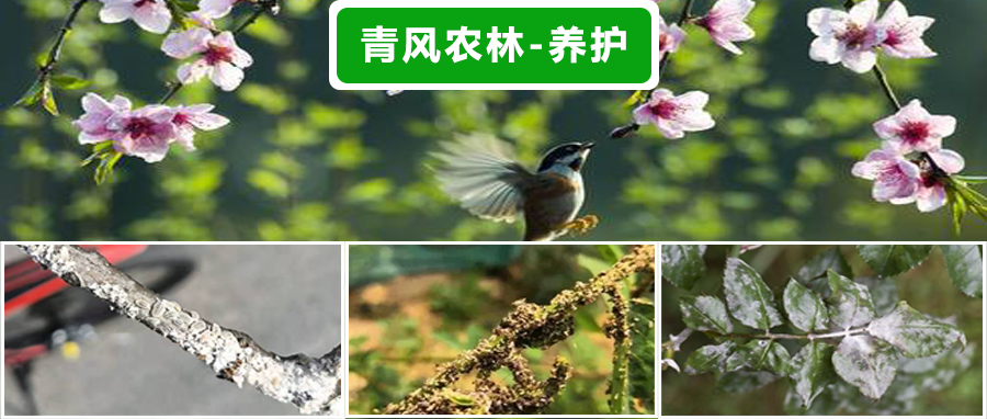 春季蚜虫、介壳虫、白粉病——青风来支招